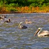 There are several types of shorebirds to enjoy including pelicans