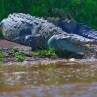 Nicaragua is host to large reptiles including caimans and crocodiles