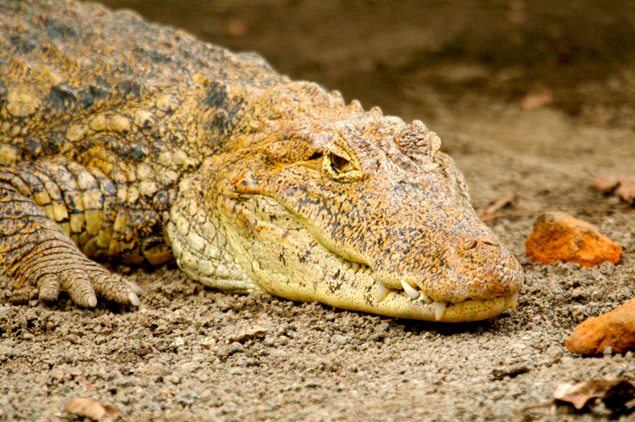 Several reptile species are found in Nicaragua including crocodiles and caimans